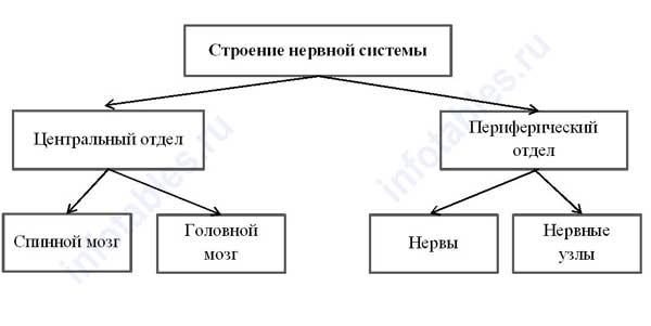 Строение нервной системы схема