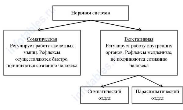 Виды нервной системы схема
