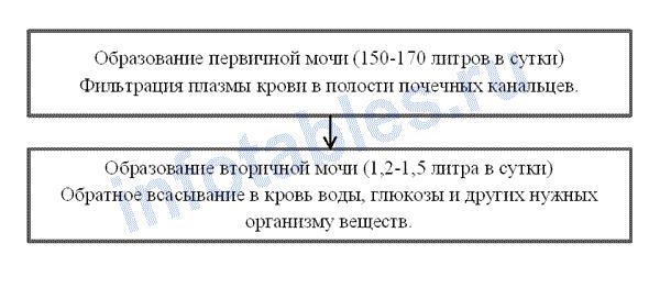 Образования первичной схема и вторичной мочи