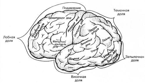 схема функциональные зоны и доли коры головного мозга