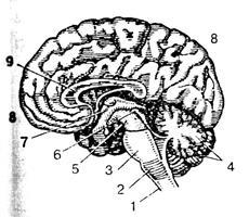 Схема продольный разрез головного мозга