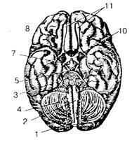 Схема основание головного мозга