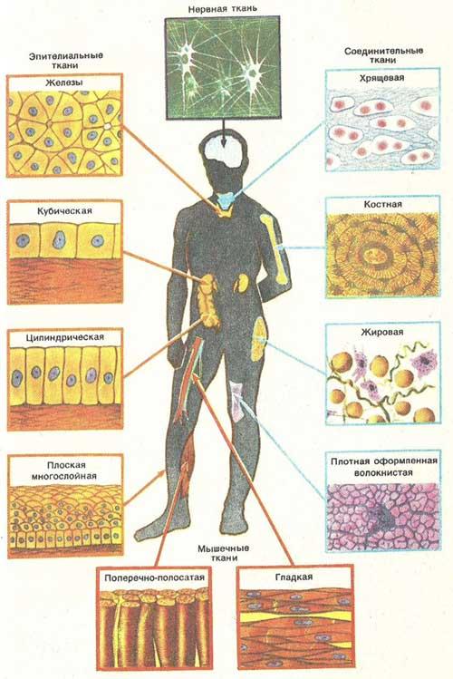 Схема структура основных тканей человека