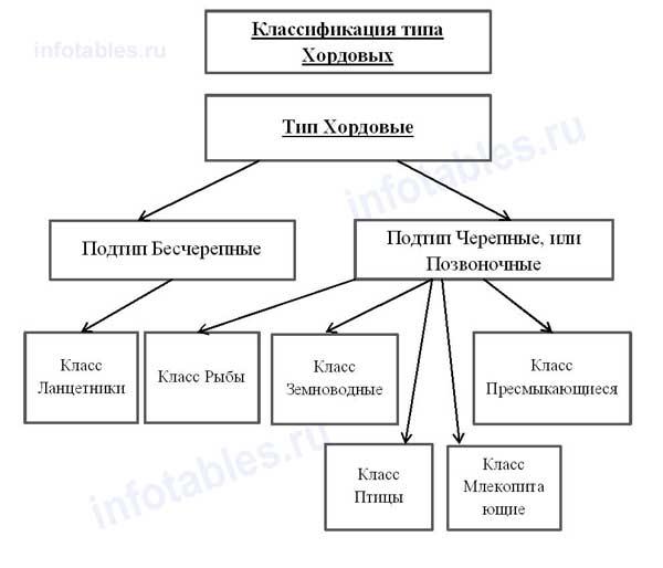 Тип ХОРДОВЫЕ классификация