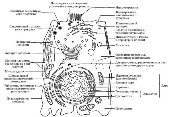 Строение эукариотической клетки схема