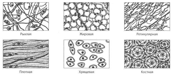 строение соединительной ткани схема