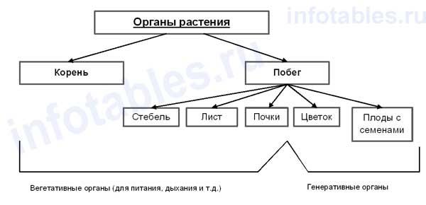 Органы растений схема
