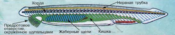 строение ланцетника рисунок