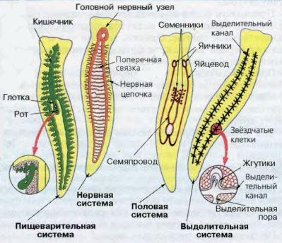 Плоские черви реферат с картинками 2013